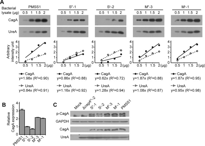 Relative levels of CagA protein and CagA phosphorylation. (A) The protein levels of CagA and UreA in lysates of H. pylori strains PMSS1, S F -1, S L -2, M F -3, and M L -1 were measured by Western blotting (upper panel). For each lysate, 0.5, 1, 1.5, and 2 μg of total protein were used to determine standard curves for CagA and UreA. The immunoblot images were analyzed using ImageJ software, and the values were plotted on a graph (lower panel). (B) Ratios of CagA to UreA were calculated, and each value was normalized to the value calculated for cagA -S F -1 to determine relative CagA protein levels. The bar graphs indicate average levels of CagA expression of each strain, and error bars represent standard deviations, derived from results of 2 independent experiments. (C) Lysates of AGS cells that were infected with H. pylori strains PMSS1, Δ cagA FL -2, S F -1, S L -2, M F -3, and M L -1 were immunoblotted for phosphorylated CagA (p-CagA), glyceraldehyde-3-phosphate dehydrogenase (GAPDH), CagA, and UreA. GAPDH and UreA were used as controls.