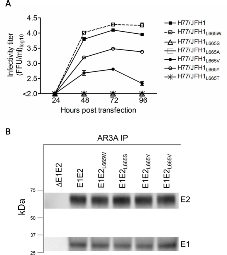 Position L665 in HCV E2 is highly sensitive to amino-acid substitutions. (A) The leucine at position 665 in H77/JFH1 was substituted for the indicated amino acids, and Huh7.5 cells were transfected with in vitro transcribed RNA of recombinants harboring these substitutions. Supernatants were collected at the indicated time-points and HCV infectivity titers were determined as described in Materials and Methods. (B) 293T cells were transiently transfected with vectors expressing L665 mutants of H77 E1E2 in cis. E1/E2 protein complexes were gently released using 1% nDDM detergent with protease inhibitors and benzonase. The samples were subjected to AR3A (conformational E2-specific antibody) immunoprecipitation and SDS-PAGE and western blot transfer was performed on the enriched fractions. E2 was detected using antibody H52 and E1 was detected using antibody A4.