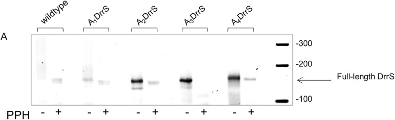 5' RACE. PCR products from wildtype and DrrS 5' variants separated on 3% agarose. Total RNA was treated with RNA pyrophosphohydrolase (PPH) before linker ligation, cDNA synthesis and PCR amplification.