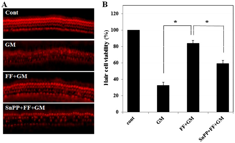 Effect of SnPPIX, an HO-1 inhibitor, on fenofibrate-mediated protection of the sensory hair cells. (A) Sensory hair cells were stained with phalloidin-TRITC and observed under a fluorescence microscope. Cochlear explants were treated with medium alone, GM (300 µ M) for 24 h (32.7±3.78, p≤0.00001), pre-treated with fenofibrate (100 µ M) for 4 h and then co-treated with GM (300 µ M) for 24 h (83.8±3.78, p≤0.00006), and pre-treated with SnPPIX (10 µ M) and fenofibrate (100 µ M) for 4 h and then further incubated with GM (300 µ M) for 24 h (59.3±3.78, p≤0.001). (B) Quantitative analysis of the survival of sensory hair cells. Histogram represents mean hair cell viability. * p