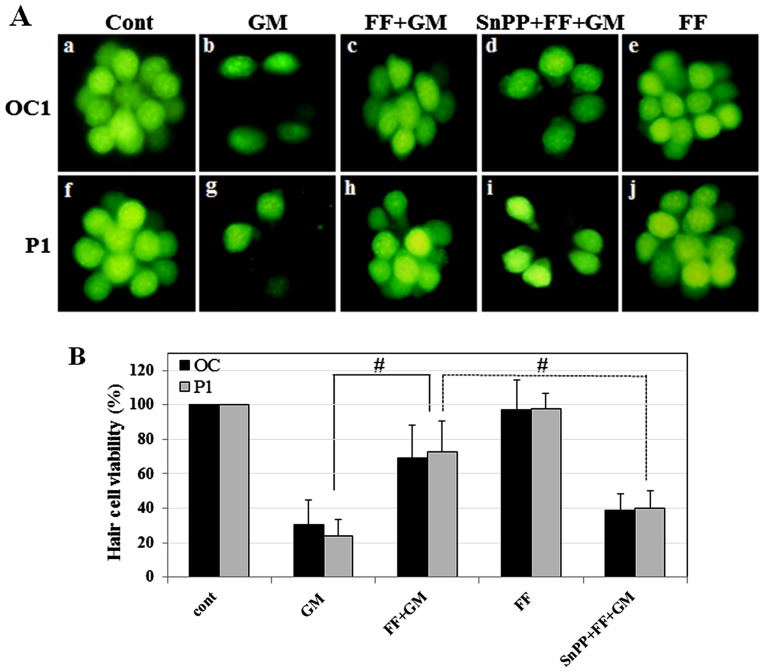 Effect of SnPPIX, a HO-1 inhibitor, on fenofibrate-mediated protection of zebrafish neuromasts. (A) The neuromasts of zebrafish were (50 µ M) for 1 h (GM, panels b and g), pre-treated with fenofibrate (10 µ M) for 0.5 h and then co-treated with GM (500 µ M) for 1 h (FF + GM, panels c and h), pre-treated with SnPPIX (10 µ M) and fenofibrate (10 µ M) for 0.5 h and then co-treated with GM (50 µ M) for 1 h (SnPP + FF + GM, panels d and i), and fenofibrate alone (FF, panels e and j). One of the occipital neuromasts (OC1) is shown in panels a-e, and a posterior neuromast is (P1) shown in panels f-j. (B) Quantitative analysis of neuromast survival. Histogram represents the mean viability of neuromasts. Zebrafish were treated with medium alone (cont), GM (50 µ M) for 1 h (OC and P1: 30.7±14.17, p≤ 0.001 and 24.2±9.29, p≤0.0002, respectively), pre-treated with fenofibrate (10 µ M) for 0.5 h and then co-treated with GM (500 µ M) for 1 h (OC and P1: 69.3±19.2, p≤0.003 and 72.5±17.86, p≤0.0006, respectively), pre-treated with SnPPIX (10 µ M) and fenofibrate (10 µ M) for 0.5 h and then co-treated with GM (50 µ M) for 1 h (OC and P1: 38.6±10.00, p≤0.001 and 40.0±10.00, p≤0.002, respectively), and fenofibrate alone (FF). # p