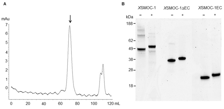Dimeric X SMOC-1 is not dissociated by chelation or reduction. ( A ) SEC profile showing that X SMOC-1, refolded in the presence of 2 mM CaCl 2 , continues to migrate as a dimer (↓) upon the subsequent chelation of calcium ions by dialysis in the presence of 10.5 mM EDTA. ( B ) SDS-PAGE analysis of X SMOC-1, X SMOC-1 ∆EC, and X SMOC-1 EC in the presence (+) and absence (−) of β-mercaptoethanol shows that the X SMOC-1, X SMOC-1 ∆EC dimers are not linked by disulfide bonds. DOI: http://dx.doi.org/10.7554/eLife.17935.007