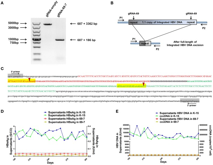 CRISPR-Cas9/gRNA-69 efficiently removed the integrated HBV genome from a stable HBV cell line. (A) Analysis of PCR amplicon lengths using a primer pair (P1 and P2) targeting the integrated HBV-flanking sequence revealed elimination of the full-length integrated HBV genome (3,173-bp), leaving one fragment (873-bp predicted segment from its flanking region). (B) Diagram showing excision of the full-length integrated HBV genome. The remaining fragment included the expected 687-bp from the integrated HBV flanking sequence and a 186-bp HBV repeat core region sequence. (C) Sanger sequencing of the remaining fragment (873-bp) showing the HBV flanking sequence (small letters, 687-bp) and the partial sequences (189 − 3 = 186-bp) of the integrated HBV repeat region B (green) and repeat region A (red) with a 3-bp deletion around the gRNA-69 targeting site (yellow-highlighted). Elimination of the full-length integrated HBV genome is indicated by a strikethrough. (D,E) The amounts of HBeAg, HBsAg and HBV DNA in cell culture supernatants and HBV cccDNA in the gRNA-empty-treated group (K-15) and gRNA-69-treated group (69-7) over 300 consecutive days. The HBsAg and HBeAg test results in the gRNA-69-treated group (69-7) were always under the negative threshold (0.05 IU/ml for HBsAg and 1 S/CO for HBeAg), and the amounts of HBV DNA and HBV cccDNA in the supernatants were always undetectable (