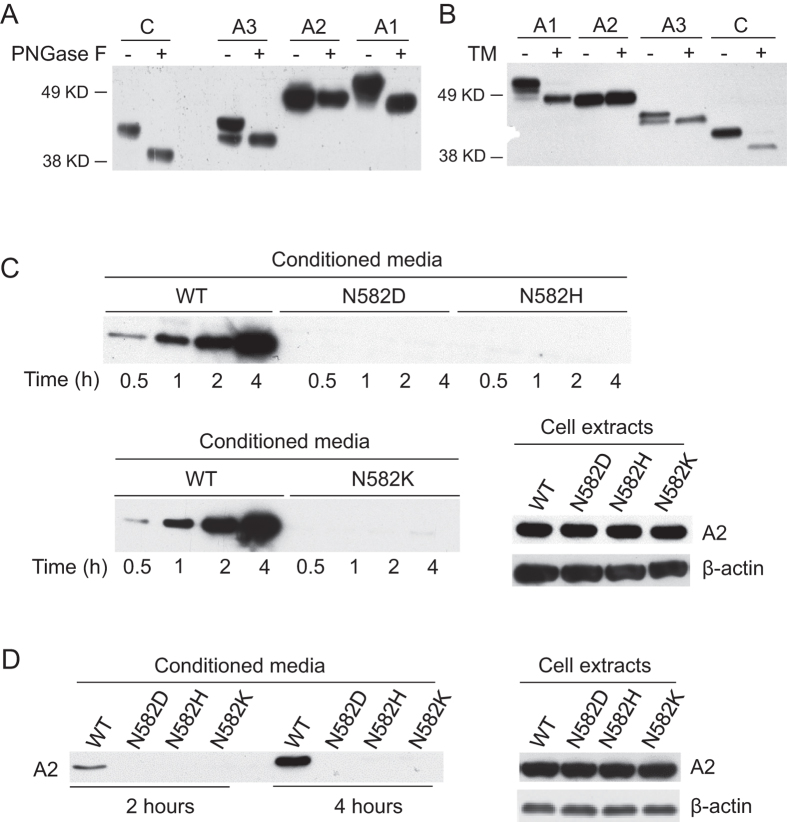 The A2 domain is not N-glycosylated and N582 mutations result in defective secretion of the A2 domain. ( A ) COS-1 cells were transfected with constructs that express Flag-tagged individual domains (A1, A2, A3 and C) of FVIII. Cell lysates were digested with PNGase F or left untreated, and subsequently immunoblotted with an anti-Flag antibody. ( B ) COS-1 cells were transfected with individual FVIII domain constructs in duplicates. One set of transfected cells were treated with 2 μg/ml tunicamycin for 12 h before lysis. ( C ) COS-1 cells were transfected with a construct expressing WT A2 domain or one of three different A2 domain mutants. A fresh medium change was carried out thirty hours after transfection. At the indicated time after the change of medium, conditioned media were collected and immunoprecipitated with a mouse monoclonal anti-Flag antibody and analyzed by immunoblotting with a rabbit anti-Flag antibody. Thirty-six hours after transfection, cells were lysed and equal amounts of cell extracts were immunoblotted with anti-Flag and anti-β-actin antibodies. ( D ) Six hours after transfection, COS-1 cells were cultured at 28 °C for 24 hours before fresh medium change. Conditioned media were collected at 2 and 4 h and secreted A2 protein was analyzed by immunoprecipitation and immunoblotting. Thirty-six hours after transfection, cells were lysed and equal amounts of cell extracts were immunoblotted with anti-Flag and anti-β-actin antibodies. All experiments were performed independently twice.