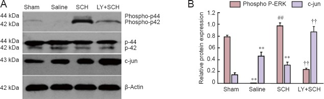 Effects of the PAR1 antagonist SCH79797 (SCH) and the PI 3 K/Akt inhibitor LY29004 (LY) on <t>ERK,</t> phospho-ERK and c-Jun as assessed by western blot assay after transient global cerebral I/R injury. (A) Representative immunoblots of ERK, phospho-ERK, and c-Jun in hippocampal tissue homogenates from the studied groups 48 hours after I/R. (B) Densitometry analysis results for ERK phosphorylation and c-Jun 48 hours after I/R. The graph shows optical density ratios of the target protein to <t>β-actin</t> using data combined from three independent experiments after normalization to the loading control. Sham group: Sham-operated control rabbits; saline group: rabbits subjected to 3 minutes of cardiac arrest and administered saline; SCH group: rabbits subjected to 3 minutes of cardiac arrest and treated with PAR1 receptor antagonist SCH79797 (25 μg/kg, intravenously) 10 minutes after cardiopulmonary resuscitation; LY + SCH group: rabbits that received the PI 3 K/Akt inhibitor LY29004 (3 mg/kg, intravenously) 10 minutes before SCH administration. Data are expressed as the mean ± SD. Differences among groups were analyzed by one-way analysis of variance followed by Bonferroni post hoc tests. ** P