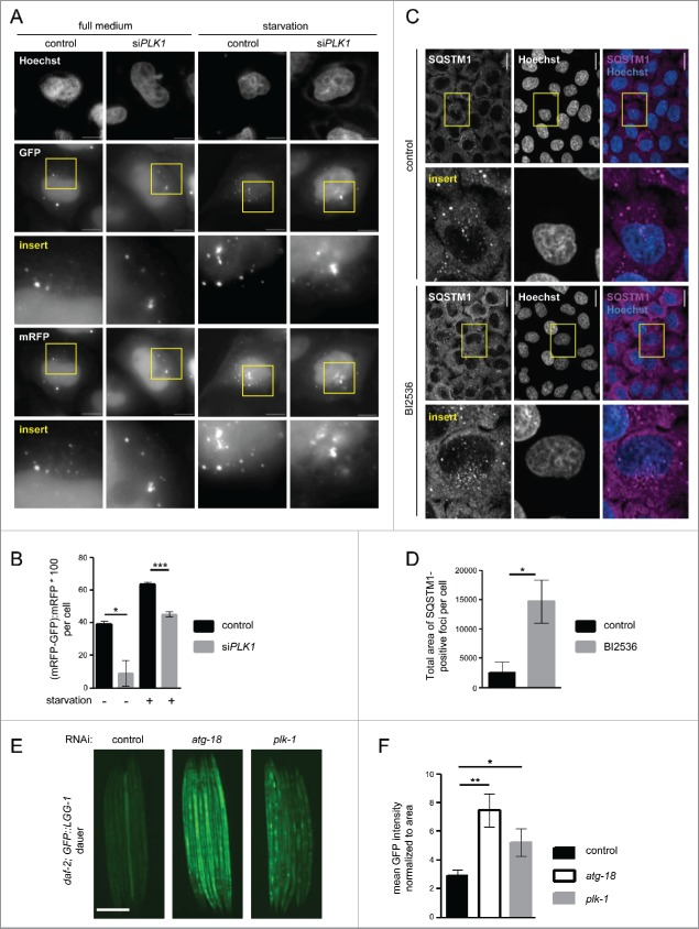 PLK1 inhibition impairs autophagy in nonmitotic cells and in  C. elegans  dauers. (A) HeLa cells were transfected with mRFP-GFP-LC3 tandem reporter, followed by  PLK1  siRNA transfection on the next day. Cells were either kept in full medium, or starved for serum and amino acids for 16 h. Mitotic cells were removed by shake-off before fixation of cells 24 h after siRNA transfection. Representative images are shown for each condition. Scale bar 10 µm. Data shown are representative of n = 2 independent experiments. (B) Quantification of experiment shown in (A). The numbers of green puncta (autophagosomes) and red puncta (autolysosomes plus autophagosomes) were counted for nonmitotic cells. Data shown are represented as mean ± SEM for n = 30 cells for control knockdown, full medium, n = 43 cells for si PLK1 , full medium, n = 35 cells for control knockdown, starvation condition, and n = 26 for si PLK1  starvation condition. A nonparametric 2-tailed Student  t  test was applied; *,  P  ≤ 0.05; ***,  P  ≤ 0.001. (C) Immunofluorescence analysis of HeLa cells that were starved for 1 h for amino acids and growth factors, stimulated with amino acids and insulin for 35 min, followed by 30 min amino acid starvation. All media were supplemented with bafilomycin A 1 . Staining was performed with SQSTM1 antibody and Hoechst 33342. Shown are maximum intensity projections. Scale bar 20 µm. Representative images are shown for n = 3 independent experiments. (D) Quantification of experiment shown in (C). The total area of SQSTM1-positive foci was calculated and normalized to the number of nuclei. n = 126 cells for control condition and n = 105 cells for BI2536 treated condition. Data are represented as mean ± SEM, and are representative of n = 3 independent experiments. A nonparametric 2-tailed Student  t  test was applied; *,  P  ≤ 0.05. (E   F)  daf-2(e1370)  animals expressing GFP::LGG-1 were fed bacteria expressing control,  atg-18  or  plk-1  dsRNA from hatching, and raised at the nonpermissible temperature (25°C) to induce dauers. (E) Micrographs of ∼8 to 10 dauer animals lined up next to each other were taken 6 d after the temperature shift. Scale bar 200 µm. (F) GFP::LGG-1 fluorescence (mean ± s.d. of ∼8–10 animals, ** P