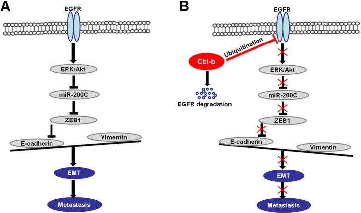 Schematic representation of the proposed model. (A) The E3 ubiquitin ligase Cbl-b is expressed at low levels in high-invasive MDR gastric cancer and breast cancer cells. EGFR-activated ERK/Akt enhanced the expression of the E-cadherin transcription repressor ZEB1 through the downregulation of miR-200c. Downregulation of E-cadherin led to EMT and tumor metastasis. (B) Overexpression of Cbl-b inhibited EGFR and the downstream ERK/Akt signal by the ubiquitination and degradation of EGFR. Inactivation of the EGFR pathway decreased the expression of the E-cadherin transcription repressor ZEB1 through the upregulation of miR-200c. E-cadherin is upregulated, and EMT and tumor metastasis are repressed.