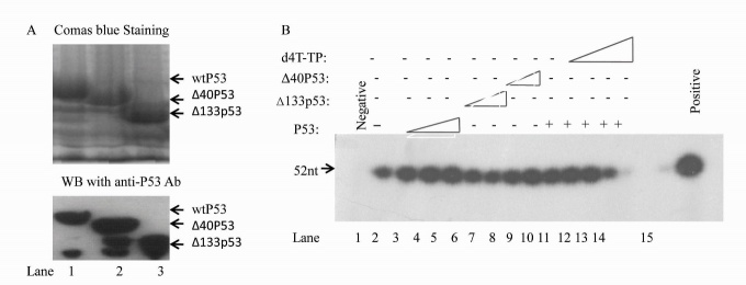 In vitro BER assay with purified wtP53, Δ40p53 and Δ133p53 fusion proteins showing that Δ40p53 and Δ133p53 cannot induce mtBER but can attenuate mtBER activity induced by wtp53 . (A) wtP53, Δ40p53 and Δ133p53 His fusion proteins were stained with Coomassie blue (upper panel) and identified by Western blotting with anti-P53 antibodies (lower panel). (B) Purified p53, Δ40p53 and Δ133p53 protein (100, 500 and 1000 ng, lanes 3-9) or d4T (10, 50 and 300 nM, lanes 11-14) were added to BER reaction mixtures containing both whole-mitochondrial extracts obtained from H1299 cells and <t>T4</t> DNA ligase. The templates were treated with T4 DNA ligase and Klenow fragment was used as a positive control (lane 15).