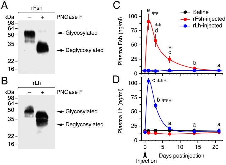 Characterization of Senegalese sole recombinant gonadotropins and half-life of the hormones in plasma. (A, B) Characterization of CHO cells-expressed recombinant single-chain Fsh and Lh (rFsh and rLh) by Western blot analysis and deglycosylation. Concentrated supernatants of cell cultures were separated by 12% SDS-PAGE and immunoreacted with antibodies against Senegalese sole Fsh and Lh β subunits. For deglycosylation, denatured and reduced proteins were incubated with (+) or without (-) N-glycosidase F (PNGase F). Molecular mass markers (kDa) are on the left. (C, D) Time-course of plasma Fsh and Lh concentrations in fish (mean ± SEM;  n  = 5 fish) after intramuscular injection of saline or 6 μg/fish (17.5 ± 0.6 μg/kg) of rFsh or rLh. *,  P