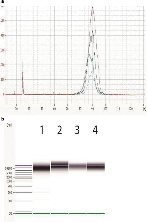 Appearance of sheared DNA from Agilent 2100 Bioanalyzer analysis. Representative electropherogram ( a ) and virtual gel ( b ) are used for visual inspection (generated with the Agilent 2100 Bioanalyzer system with the DNA 12000 Kit) of sheared bacterial genomic DNA with average shearing size for Campylobacter ( green , 10 kb), Listeria ( blue , 13.5 kb), Vibrio ( aqua ,11.6 kb), and Salmonella ( red , 17 kb). Peaks near 35 are the lower marker internal standard for the DNA 12000 kit. A typical electropherogram using the Agilent Bioanalyzer 2100 DNA 12000 kit shows the lower marker at 35 s and the upper marker at 90 s. The sheared DNA and the red upper marker, seen in the gel image, co-elute together