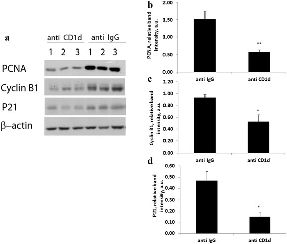 Expression patterns of hepatic PCNA, P21 and Cyclin B1 during liver regeneration from ConA-challenged isotype control and anti CD1d-treated mice. a Western blotting analysis of hepatic remnant lysates, as described in materials and methods, was performed 48 h after PH using anti PCNA, anti p21 and anti cyclinB1. β-actin was used as loading control. The illustrated bands are representative of 3 mice per group. b Densitometry of PCNA c Densitometry of Cyclin B1 d Densitometry of p21. Bars are means ± standard error values of intensity for individual bands that were quantified using EZQuant-Gel densitometry software, and expressed relative to β-actin, as a measure of protein relative abundance in the different liver samples. * p