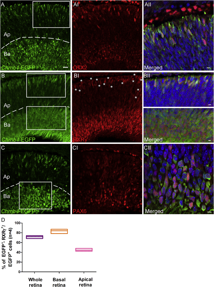 EGFP Co-expression with the Post-mitotic Cone Marker RXRγ at E12 (A–CII) Transversal sections of E12 retinas from Chrnb4- EGFP reporter mice. (A–AII) OTX2, essential for photoreceptor differentiation, is detected in elongated EGFP-positive cells adjacent to the apical retinal region. (B–BII) Double RXRγ- EGFP-positive cones localized at both the apical and basal side of the retina. (C–CII) EGFP co-expression with PAX6-positive cells adjacent to the basal retinal region is shown. (A–C) Dashed lines delimit the Ap from the Ba retinal region used for counting in (D). (D) Percentage of double EGFP- RXRγ-positive cells were counted over the EGFP-positive cells detected in the whole, apical-central, and basal retina. Error bars correspond to SEM. (AII, BII, and CII) High-magnification pictures show the corresponding white squares. DAPI, nuclear staining (blue); Ba, basal; Ap, apical; n = 3. Scale bars, 50 μm (A–CI) and 15 μm (magnified insets).
