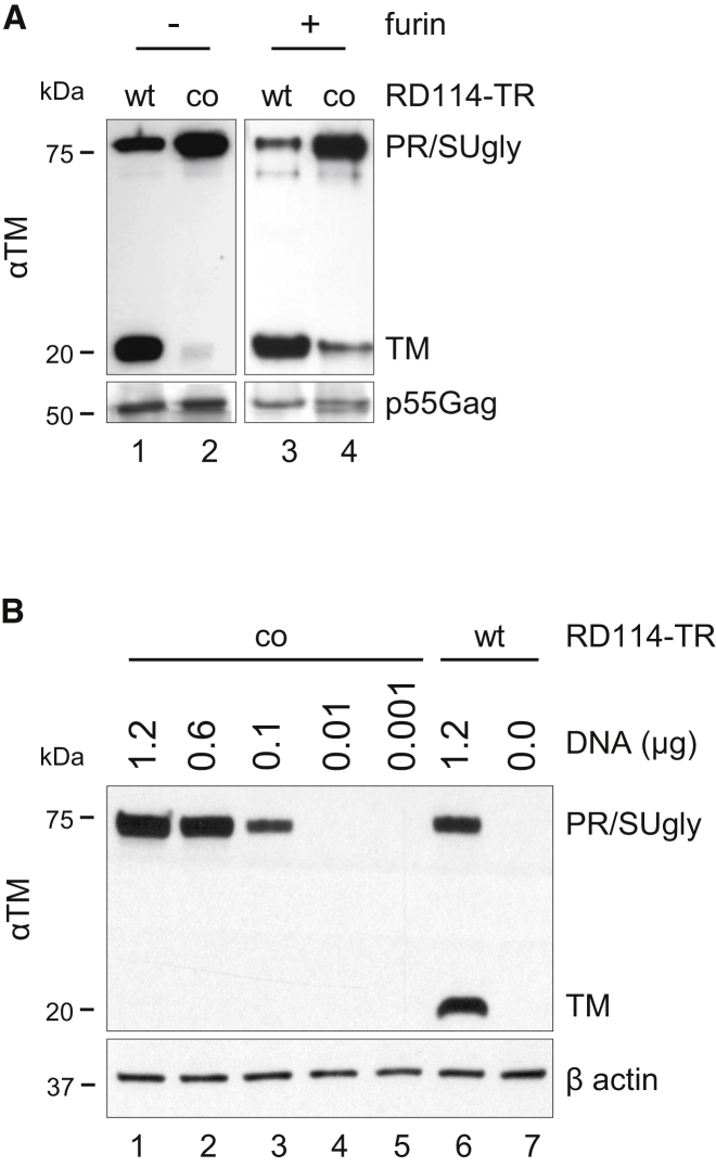 In Vitro and In Vivo Furin Cleavage of RD114-TRco (A) Western blot analysis of whole-cell proteins (30 μg) extracted from PK-7 cells, transfected with either RD114-TRWT or RD114-TRco plasmid and treated overnight at 16°C with 4 U/sample of recombinant furin. The filter was probed with the anti-TM Ab and, after stripping, with anti-HIV serum as an internal control. (B) Western blot analysis of whole-cell proteins (30 μg) extracted from HEK293T cells transfected with the indicated amounts of plasmid DNA encoding either RD114-TRWT or RD114-TRco. The filter was stained with anti-TM Ab and, after stripping, with anti-β actin Ab as an internal control.