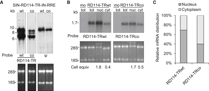 Northern Blot Analysis of RD114-TRWT and RD114-TRco mRNA (A) Total RNA (5 μg) extracted from PK-7 cells transiently transfected with SIN-eGFP TV and either SIN-RD114-TRWT or SIN-RD114-TRco plasmids was tested with two sequence-specific RD114-TRWT and RD114-TRco probes, respectively, and the common ψ probe as an internal control. Three bands were detected for both mRNAs, corresponding to the full-length (ψ and specific RD114-TR probes), the spliced, and the internal cassette transcripts, respectively (specific RD114-TR probes). Bottom: ethidium bromide (EtBr) staining of the agarose gel showing 28S and 18S RNAs. (B) Total, nuclear, and cytosolic mRNA (5 μg) extracted from PK-7 cells transiently mock-transfected (mo) and transfected with the pIRES-puro3-based plasmids encoding either RD114-TRWT or RD114-TRco were tested with two sequence-specific RD114-TRWT and RD114-TRco probes, respectively. A single band derived from the expression cassette was detected for both samples. Bottom: EtBr staining of the agarose gel showing 28S and 18S RNAs. (C) qRT-PCR analysis of the nuclear and cytoplasmic distribution of RD114-TRWT and RD114-TRco mRNA. Nuclear and cytoplasmic mRNA was retro-transcribed, and then qPCR was carried out on the corresponding cDNA using specific primers for RD114-TR WT and co genes and, as internal normalizers, specific primers for the U6 and GAPDH genes. The data were derived from a single qRT-PCR experiment in which each sample was run in sestuplicate.