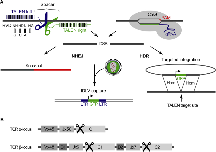 DSB Repair and Targeted Genome Editing of the TCR Loci Using Designer Nucleases (A) During NHEJ-repair of TALEN- and CRISPR/Cas9-induced DSBs, frameshift mutations can result in gene knockout, or episomal IDLV can be integrated into DSBs, allowing for the permanent marking of off-target DSBs. If donor DNA is provided, HDR can lead to targeted integration of an expression cassette, i.e., therapeutic TCR chains. (B) The TCR α and β locus are composed of a number of variable (V), joining (J), constant (C), and, in the case of TRBC , diversity (D) gene segments (numbers of functional genes from IMGT/GENE-DB 53 version 3.1.16, December 14, 2016). The positions of TALEN and gRNA target sequences for TCR knockout in the TCR α constant region ( TRAC ) and a homologous sequence shared by both TCR β constant regions ( TRBC1/2 ) are marked by scissor symbols. DSB, DNA double-strand break; gRNA, guide RNA; HDR, homology-directed repair; IDLV, integrase-defective lentiviral vector; LTR, long terminal repeat; NHEJ, non-homologous end joining; PAM, protospacer adjacent motif; RVD, repeat variable di-residue.