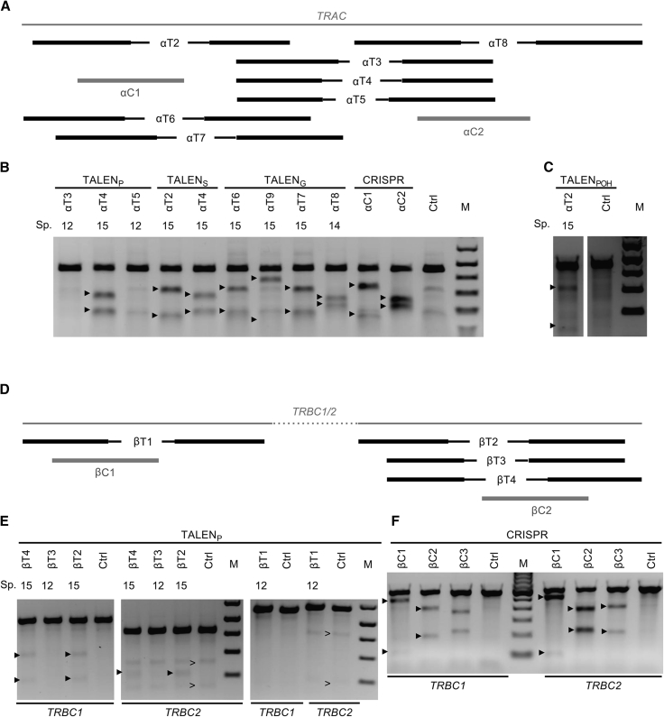 Evaluation of TALEN and CRISPR/Cas9 Activity (A) Positions of TALEN and CRISPR/Cas9 gRNA binding sites at the TRAC target site. (B) TALEN and CRISPR/Cas9 activity in the TRAC locus in K562 cells. (C) Activity of obligate heterodimeric TALENs in the TRAC locus in 293T cells. (D) TALEN and gRNA binding sites at TRBC1 and TRBC2 target locus. (E) TALEN activity in the TRBC1 and TRBC2 locus in 293T cells. (F) CRISPR/Cas9 activity in the TRBC1 and TRBC2 locus in K562 cells. (B, C, E, and F) PCR amplification of the target regions in the TCR loci produces upper bands. T7EI-mediated cleavage of NHEJ-originated heteroduplex DNA results in additional cleavage bands, marked by arrowheads. A SNP in the TRBC2 locus results in additional bands, marked by arrows ( > ). Ctrl, negative control; M, marker; Sp., length of spacer between TALEN binding sites in base pairs; TALEN G , GoldyTALEN; TALEN P(OH) , pTAL3 (obligate heterodimeric FokI domain); TALEN S , CAG-T7-TALEN(Sangamo)-Destination.