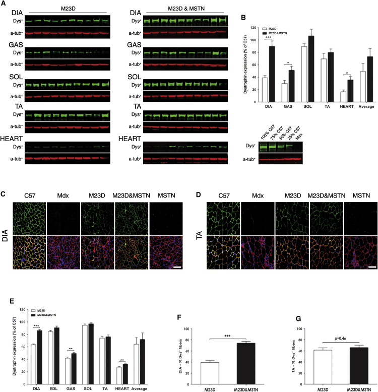 BPMO-M23D and BPMO-M23D MSTN Administration Induce Substantial Body-wide Dystrophin Restoration (A) Western blot analysis showing dystrophin expression (dys + ) in DIA, GAS, SOL, TA, and heart muscles of BPMO-M23D- and BPMO-M23D MSTN-treated mdx mice. Each lane represents a sample from an individual mouse. Alpha-tubulin (α-tub + ) was used as an internal loading control for western blot. (B) Quantification of dystrophin expression by densitometric analysis of western blot. Following western blot evaluation, the intensity of dys + patterns was scored and normalized to the intensity of corresponding α-tub + patterns, and subsequently it was quantified based on a standard curve of C57 dystrophin. The results were expressed as the percentage of muscle type-matched C57 value (considered as 100%). Data are shown for individual muscle types or as an average of all types. (C and D) Immunostaining detecting dystrophin and laminin expression in treated muscles. Representative images of (C) DIA and (D) TA muscle sections for each group of mice are shown, respectively. Dystrophin-positive fibers were stained in green while laminin-positive fibers were stained in red. Nuclei were stained in blue with DAPI. Scale bars, 100 μm. (E) Quantification of dystrophin intensity levels in DIA, EDL, GAS, SOL, TA, and heart muscles. Following immunostaining for dystrophin, the mean dystrophin intensity was scored by ZEN software and normalized to the mean intensity of laminin detected on the same section. Results were expressed as the percentage of C57 value, considered as 100%. (F and G) Quantification of dystrophin-positive fibers was focused on (F) DIA and (G) TA muscles. The number of dystrophin- and laminin-positive fibers from five random fields of mid-belly muscle sections was counted. Only fibers showing continuous staining of dystrophin along the entire sarcolemma were considered as dystrophin positive and evaluated as the percentage of the number of total fibers (laminin positive) 