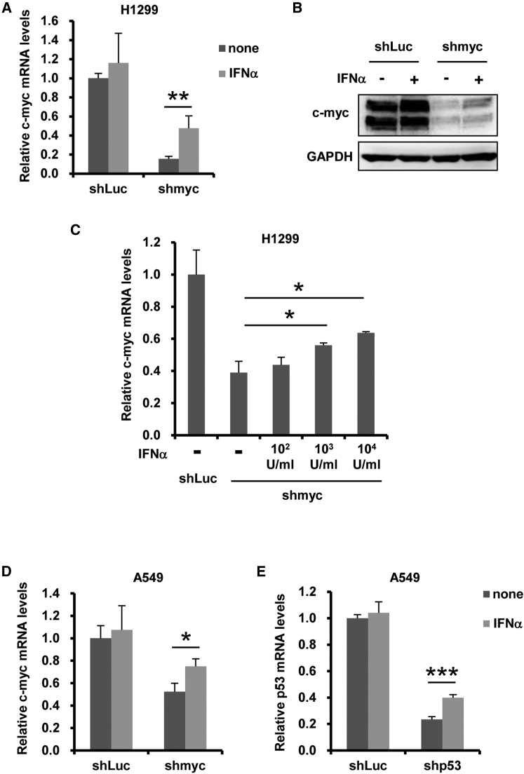 Inhibition of shRNA-Mediated Knockdown by IFN-α Stimulation (A and B) H1299 cells were transfected with pHMU6-shLuc or -shmyc, followed by treatment with recombinant IFN-α at 10 4 U/mL. After 48-hr incubation, c- myc mRNA (A) and protein (B) levels in the cells were determined by qRT-PCR and western blotting analysis, respectively. (C) H1299 cells were transfected with pHMU6-shLuc or -shmyc, followed by treatment with recombinant IFN-α at 10 2 , 10 3 , or 10 4 U/mL. After 48-hr incubation, c- myc mRNA levels in the cells were similarly determined. (D and E) A549 cells were transfected with pHMU6-shLuc, -shmyc (D), or -shp53 (E), followed by treatment with recombinant IFN-α at 10 4 U/mL. After 48-hr incubation, c- myc (D) and p53 (E) mRNA levels in the cells were similarly determined. These experiments were repeated at least three times, and representative data are shown. All data are expressed as the means ± SD (n = 4). *p