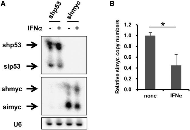 Processing of shRNA to siRNA in IFN-α-Treated Cells (A and B) H1299 cells were transfected with pHMU6-shp53 or -shmyc, followed by treatment with recombinant IFN-α at 10 4 U/mL. After 48-hr incubation, shRNA and siRNA copy numbers in the cells were determined by northern blotting analysis (A) and qRT-PCR (B). Data are expressed as the means ± SD (n = 4). *p