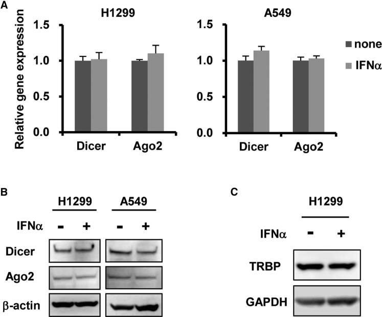 Dicer and Ago2 Expression Levels following IFN-α Stimulation H1299 and A549 cells were treated with recombinant IFN-α at 10 4 U/mL. After 48-hr incubation, dicer and Ago2 mRNA (A) and protein (B) levels in the cells were determined by qRT-PCR and western blotting analysis, respectively. (C) TRBP protein levels in the cells were determined by western blotting analysis. The qRT-PCR data are expressed as the means ± SD (n = 4).