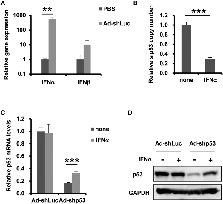 Inhibition of Ad Vector-Expressing shRNA-Mediated Knockdown by IFN-α Stimulation (A) 4 × 10 8 IFU Ad-shLuc was intravenously administered to C57BL/6 mice. 3 hr after the administration, IFN-β mRNA levels in the spleen were determined by qRT-PCR. Data are expressed as the means ± SE (n = 3–4). (B–D) A549 cells were transduced with Ad-shp53, followed by treatment with recombinant IFN-α at 10 4 U/mL. After 48-hr incubation, the copy numbers of sip53 in the cells were determined by qRT-PCR (B). After 48-hr incubation, p53 mRNA (C) and protein (D) levels in the cells were determined by qRT-PCR and western blotting analysis, respectively. Data are expressed as the means ± SD (n = 4). **p