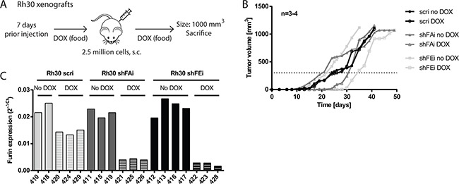 Decrease of furin activity delays tumor growth of Rh30 xenografts in vivo A. Schematic overview of Rh30 xenograft model. 3-4 NOD/Scid mice per group were fed with or without DOX-supplemented food starting 7 days prior engraftment. Mice were then engrafted s.c. with 2.5 million Rh30 cells. Tumor growth was monitored over time and mice were sacrificed once a tumor reached a size of 1000 mm 3 . B. Absence of furin activity delays initial tumor growth. Tumor growth rate was monitored by caliper measurements. Data represent mean tumor size of 3-4 mice per group. C. Furin expression is reduced upon induction of furin specific shRNA. Tumor tissue was collected upon sacrifice of mice, total RNA isolated and furin mRNA levels analyzed by qRT-PCR. Expression levels relative to <t>HMBS</t> are shown.