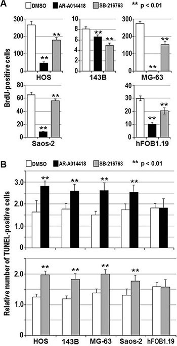 Effects of GSK-3β inhibitors on the proliferation and apoptosis of osteosarcoma cells and osteoblasts ( A ) The indicated cells were treated with DMSO or 25 μmol/L each of either AR-A014418 or SB-216763 for 72 hours. The relative number of proliferating cells was evaluated by measuring the amount of BrdU incorporation. ( B ) Relative numbers of TUNEL-positive apoptotic cells were scored for the indicated cells at 12 hours after treatment with DMSO or 25 μmol/L each of either GSK-3β inhibitor. (A, B) Values shown are the means ± SD of six separate experiments. Asterisks denote a statistically-significant difference ( p