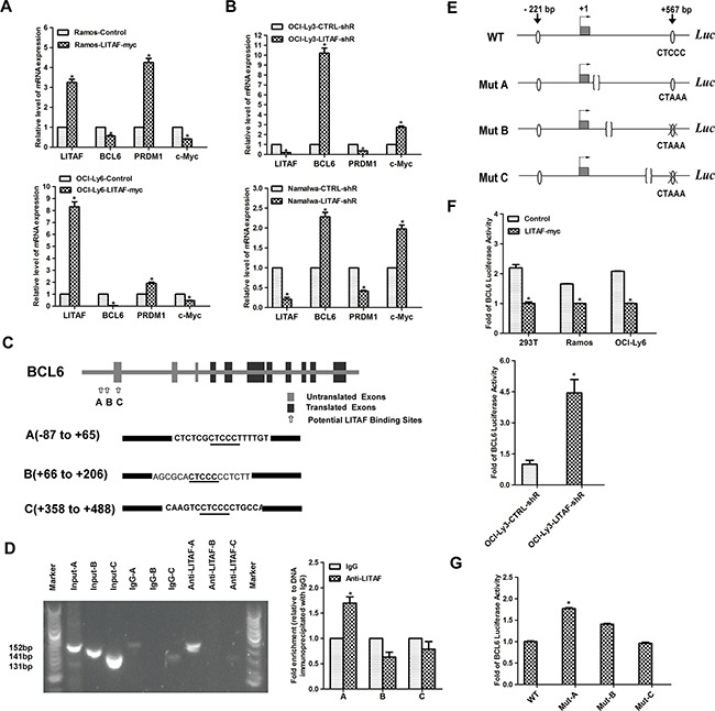 Transcriptional regulation of BCL6 by LITAF A. qRT-PCR showing temporal regulation of BCL6 and its target genes by LITAF in Ramos and OCI-Ly6 cells 48 h post-infection. Control, cells with pLVX virus; LITAF-myc, cells with over-expressed LITAF. B. Effect of silencing LITAF on BCL6 , PRDM1 and c-Myc mRNA in OCI-Ly3 and Namalwa cells. LITAF-shR, shRNA against LITAF; CTRL-shR, scrambled shRNA. C. Graphic representation of the BCL6 gene highlighting the three potential LITAF binding sites. The sequences of A (−87 to +65), B (+66 to +206) and C (+358 to +488) of the BCL6 gene are shown containing the LITAF consensus sites (CTCCC) underlined. Sequence numbers are in reference to the + 1 nucleotide identified by previous study [ 43 ]. D. ChIP assay in OCI-Ly3 cells. PCR was performed with primers specific for three potential regulating regions (A, B and C) in the promoter of BCL6 , respectively. The PCR product was analyzed by agarose gel electrophoresis (left), and qRT-PCR results are expressed as fold enrichment calculated as the percentage of input for the specific antibody (LITAF) with respect to IgG control of three replicates (right). Marker, 100-bp ladder. E. Schematic representation of the wild-type and three mutant (CTCCC to CTAAA) BCL6 reporters used in the experiments. F. The luciferase activity of BCL6 reporter plasmid in cell lines including 293T, Ramos and OCI-Ly6 after over-expression of LITAF (upper); and OCI-Ly3 cells infected with shRNA for LITAF or control virus (lower). G. Luciferase activity of wild-type (WT) or mutant (Mut-A, Mut-B and Mut-C) BCL6 reporters in OCI-Ly6 cells transfected with LITAF. Mean±s.d. of three technical replicates were plotted. * P