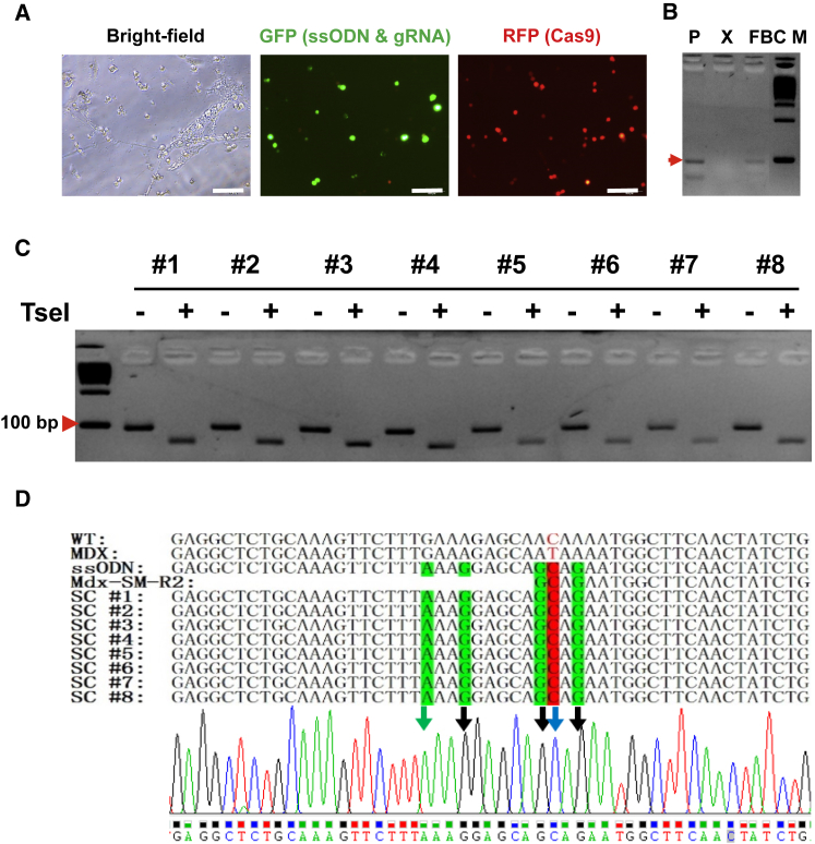 Correction of the Dmd Mutation Using ssODN Donor with CRISPR/Cas9 System in Fibrin-Expanded MuSCs (A) Representative images showing delivery of CRISPR/Cas9 components into fibrin-expanded cells. Bulk skeletal muscle cells were cultured in soft 3D fibrin gel. When round-shaped MuSCs became the dominant cell type in soft 3D fibrin gel, cells were transfected with a cocktail of gRNA, ssODN, and pmax-GFP by Lipofectamine 3000. Six hours after transfection, cells were then infected with adenovirus AdV-Cas9-RFP, which co-expresses RFP and CRISPR/Cas9. GFP was used to reflect transfection efficiency of ssODN and gRNA. Scale bar, 100 μm. (B) Genotyping PCR using Mdx-F2 and SM-R2 indicating HDR-mediated Dmd correction in the fibrin-expanded MuSCs (n = 3). P, positive control using synthesized donor DNA fragment; X, genomic DNA from uncorrected mdx muscle cells; FBC, genomic DNA from corrected fibrin-expanded bulk muscle cells from mdx mice; M, 100-bp DNA marker. (C) TseI digestion confirming HDR-mediated Dmd correction in fibrin gel-expanded MuSCs. Allele-specific PCR products amplified by Mdx-F1 and SM-R2 from genomic DNA of expanded MuSC were sub-cloned into TOPO cloning vector, followed by colony-PCR with the same pair of allele-specific primers. The 97-bp PCR products from individual colonies were directly digested by TseI, which was incorporated by ssODN-directed HDR, and resulted in two fragments of 73 and 24 bp, respectively. Only the 73-bp fragment was visible by electrophoresis in 3% agarose gel. (D) Confirmation of HDR-mediated Dmd correction in fibrin-expanded MuSCs by DNA sequencing. TOPO clones referred to in (C) were sequenced. Silent mutations were indicated with green letters. Point mutations were highlighted in red.