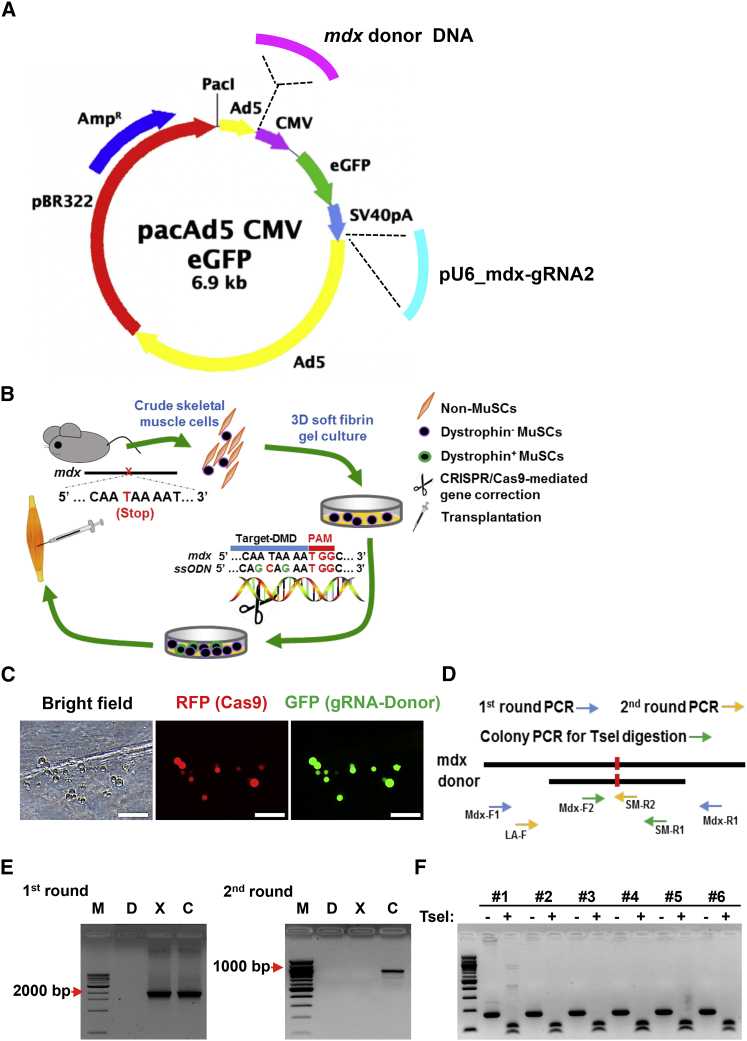 Correction of Dmd Gene in Soft 3D Fibrin-Expanded MuSCs Using Adenoviral Vector Delivery of RNA-Guided CRISPR/Cas9 and Donor DNA (A) Diagram of adenoviral vectors expressing Cas9 (AdV-Cas9) and harboring gRNA expression cassette and Dmd -specific donor template. The mdx-gRNA2 shown in Figure 2 B was used. The donor template was a 1,314-bp DNA fragment with 591- and 722-bp homology arms flanking the mutation site. The silent mutations constituting TseI restriction enzyme site in ssODN were also incorporated in this longer donor template. (B) Scheme of adult MuSC-based gene therapy for DMD in mdx mice. Bulk skeletal muscle cells were isolated from mdx mice and then cultured in soft 3D fibrin gel. When morphologically round MuSCs became evident (3∼4 days), CRISPR/Cas9 and donor DNA complexes were delivered to initiate targeted genome editing for correcting Dmd mutations. Cells were allowed to expand in fibrin gel for 3 more days to propagate Dmd-corrected MuSCs. Expanded MuSCs were then transplanted in mdx mice. (C) Representative images showing adenoviral delivery of CRISPR/Cas9 components into fibrin-expanded cells. Bulk skeletal muscle cells were cultured in soft 3D fibrin gel. When round MuSCs became the dominant cell type in soft 3D fibrin gel, cells were coinfected with adenoviruses expressing CRISPR/Cas9 (red) and carrying gRNA and donor DNA (green). RFP was used to track infection efficiency of adenovirus expressing Cas9, whereas GFP was used to reflect transfection efficiency of donor DNA and gRNA. Scale bar, 100 μm. (D) Schematic diagram for assessing correction of Dmd mutation by adenoviral delivery of CRISPR/Cas9 complexes. To avoid interference of donor DNA as template in PCR, genome DNA was amplified first by a pair of primers (Mdx-F1 and Mdx-R1) residing outside of donor DNA sequence. The resultant PCR products containing both original and mdx -corrected fragments were then purified and subcloned into TOPO-TA cloning vector. After transformation, single 