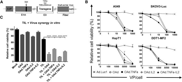 Oncolytic Activity of Adenoviral Vectors in Human and Hamster Cancer Cell Lines (A) A schematic presentation of chimeric oncolytic adenovirus with E2F promoter; 24-base-pair deletion in E1A ; human TNF-α, IL-2, or TNF-α-IRES-IL2 inserted in the E3 region; and an Ad3 serotype knob in the Ad5 fiber. (B) Oncolytic activity of the viruses was shown in human lung adenocarcinoma (A549) and luciferase-expressing ovarian carcinoma (SKOV3-Luc) as well as in hamster pancreatic cancer (HapT1) and leiomyosarcoma (DDT1-MF2). The cells were incubated with the viruses for 3 days (A549 and DDT1-MF2), 5 days (SKOV3-Luc), or 6 days (HapT1) before determining cell viability. (C) Cell-killing efficacy was enhanced when combining viruses with HapT1-specific TILs. The cells were incubated 72 hr with 5,000 VPs and 24 hr with TILs. Means ± SEM are shown (n = 8). Statistical differences were evaluated with one-way ANOVA. ****p ≤ 0.0001. Ad.Luc1, replication-deficient Ad5/3-Luc1; OAd, Ad5/3-E2F-d24; OAd.TNFa, Ad5/3-E2F-d24-hTNFa; OAd.IL2, Ad5/3-E2F-d24-hIL2; OAd.TNFa-IL2, Ad5/3-E2F-d24-hTNFa-IRES-hIL2.