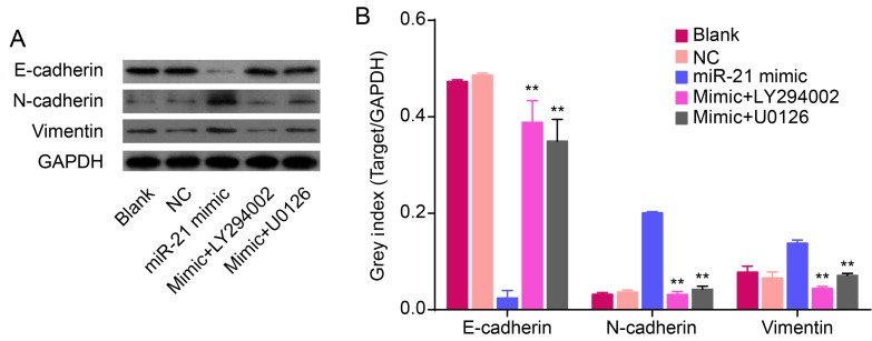 miR-21 regulates EMT through mediating Akt and ERK1/2 activation in QBC939 cells. (A) Relative and (B) semi-quantified protein levels of EMT markers from Blank, NC, miR-21 mimic, LY294002 and U0126 treatment groups. GAPDH was used as loading control ( ** P