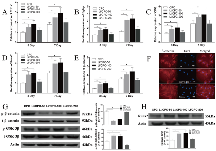 Activation of the Wnt/β-catenin signalling pathway via lithium released from Li/CPC. ( A – E ) Gene expression of Col1a1, Bglap, OPG, Runx2 and β-catenin were better in Li/CPC-50 and Li/CPC-100 than in CPC and Li/CPC-200 (n = 3). ( F ) β-catenin accumulation in the cytosol and translocation to the nucleus in Li/CPC-100 (n = 3). ( G , H ) Representative Western blot analysis of <t>p-GSK-3β,</t> t-GSK-3β, p-β-catenin, t-β-catenin and Runx2. Li/CPC-50 and Li/CPC-100 increased the amount of p-GSK-3β significantly and decreased the amount of p-β-catenin compared with Li/CPC-200 and CPC, expression of Runx2 was increased significantly in Li/CPC-50 and Li/CPC-100 compared with Li/CPC-200 and CPC. The band density was quantified using ImageJ software and data from three independent experiments were presented (CPC as the control group, the values were expressed as the mean ± SD, n = 3). Statistical analyses were done using Students't-test. *p