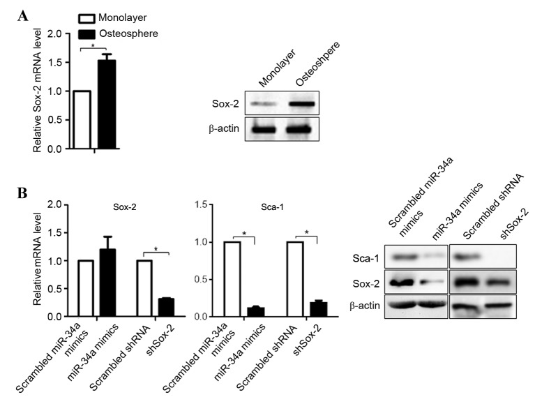 Sox-2 and Sca-1 are expressed at low levels in osteosarcoma-derived form U-2OS cells. (A) mRNA (left) and protein (right) levels of Sox-2 were analyzed using RT-qPCR and semiquantitative western blot analyses. *P