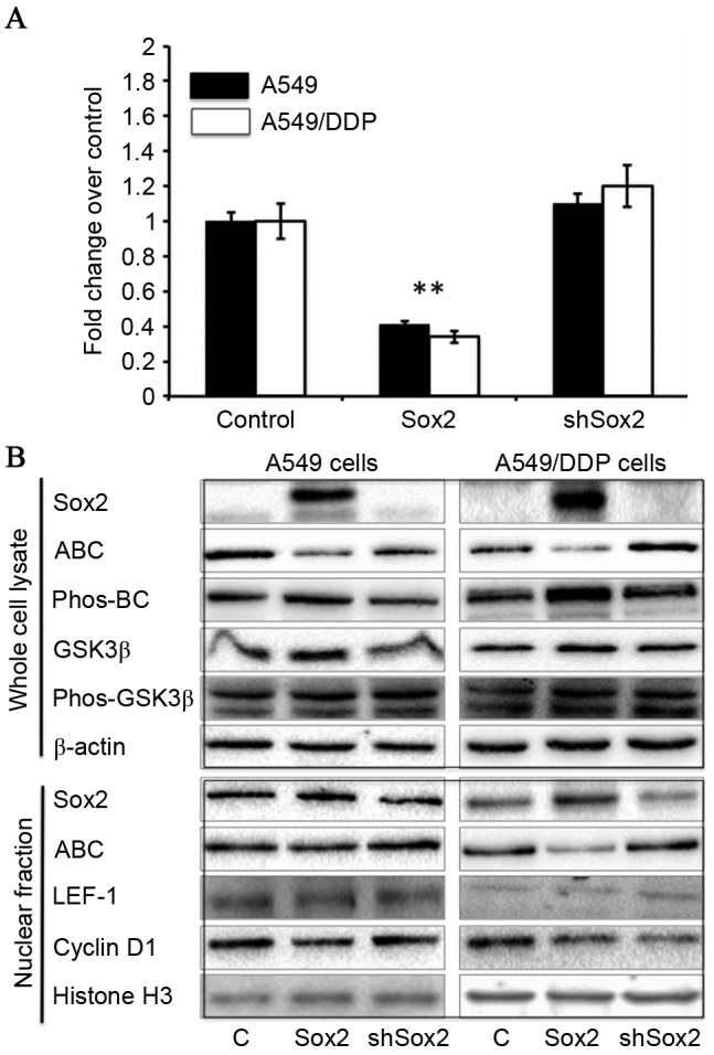 Sox2 suppresses the Wnt/β-catenin signaling activity in A549 and A549/DDP cells. A549 and A549/DDP were transfected with canonical Wnt signaling reporter BATflash and a plasmid expressing Renilla luciferase, along with a plasmid expressing Sox2 or shSox2, or a <t>pcDNA3.1</t> plasmid for 24 h. The cells were then harvested for analysis of luciferase activity and the expression of key components of Wnt/β-catenin signaling cascade. (A) Wnt/β-catenin signaling luciferase reporter demonstrates that Sox2 may inhibit Wnt signaling activity in A549 and A549/DDP cells (P