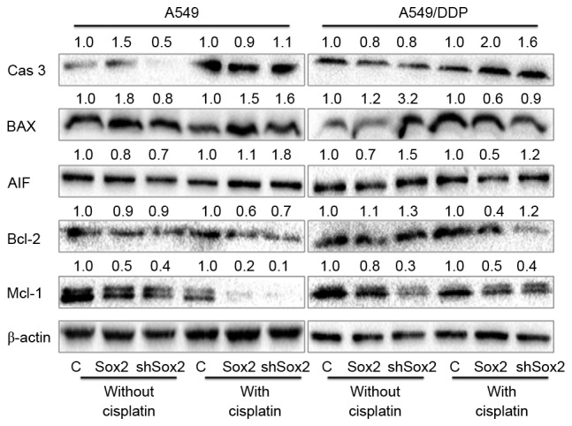 Apoptosis associated proteins determined by an immunoblotting analysis. A549 and A549/DDP cells were transfected with plasmid expressing Sox2 or shSox2, or control pcDNA3.1 plasmid for 12 h, and then cultured in medium containing 10 µM cisplatin for additional 24 h prior to being harvested for immunoblotting analysis for indicated proteins. The values labeled on the top of each bands represented the relative expression levels of proteins over their respective pcDNA3.1 control as determined by a densitometric assay. Overexpression of Sox2 demonstrated a trend to reduce the expression of pro-apoptotic proteins (caspase-3, Bax), but increased the expression of anti-apoptotic proteins Bcl-2 in lung cancer cells. Cas 3: caspase-3; Bax, Bcl-2-like protein 4; AIF, apoptosis inducing factor; Bcl-2, B-cell lymphoma 2; Mcl-1, myeloid cell leukemia sequence 1 protein; C, control; Sox2, sex-determining region Y box 2; shSox2, Sox2 short hairpin RNA.