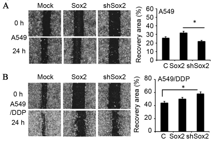 Effect of Sox2 on the migration of lung cancer cells in vitro . A549 and A549/DDP cells were transfected with a plasmid expressing Sox2 or shSox2, or a pcDNA3.1 plasmid for 12 h and the capability of cell migration was assessed using a scratch assay. (A) Representative images of scratch assays for A549 cells (left panel) and its relevant quantification of the results of cell migration index (right panel). (B) Representative images of scratch assays for A549/DDP cells (left panel) and its relevant quantification of the results of cell migration index (right panel). Overexpression of Sox2 enhanced cell migration in A549 cells, but had no effect on A549/DDP cells. By contrast, inhibition of Sox2 by shSox2 promoted cell migration in A549/DDP cells. *P