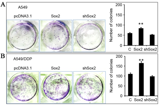 Sox2 enhances the stemness of lung cancer cells determined by a clonogenic assay. A549 and A549/DDP cells were transfected with a plasmid expressing Sox2 or shSox2, or a pcDNA3.1 plasmid and their capacity for clone formation was analyzed using a clonogenic assay in 35 mm dishes. (A) Representative images of clonogenic assay for A549 cells (left) and its relevant quantification of the number of colonies (right). (B) Representative images of clonogenic assay for A549/DDP cells (left) and its relevant quantification of the number of colonies (right). An overexpression of Sox2 demonstrated an ability to enhance the clone formation in A549 and A549/DDP cells, and a shRNA-mediated knockdown of Sox2 marginally reduced the clone formation. Data represented the mean ± standard deviation from three independent triplicated experiments (n=9). **P