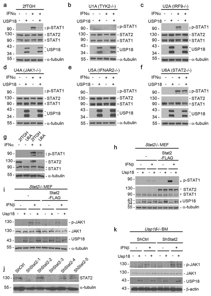 STAT2 is required for USP18-mediated inhibition of Type I IFN signaling (a–f) MIP or MIP-USP18 expressing 2fTGH, U1A, U2A, U4A, U5A, and U6A cells were treated with IFNα (1000 U/ml) for 15 minutes. The cell lysates were immunoblotted with the indicated antibodies. (g) IB analysis of STAT1 phosphorylation in 2fTGH and U6A cells in the presence or absence of (1000 U/ml) IFNα. (h–i) Stat2 −/− MEFs were infected with MIP control (−) or MIP-Usp18 (+) retroviruses, either in the presence or absence of rescue with C-terminally FLAG-tagged Stat2 cDNA. Where indicated cells were treated with either mouse IFNβ (500 U/ml) for 15 minutes (h) or 30 minutes (i), before cell lysates were collected and analyzed by Western blotting with indicated antibodies. (j) Validation of Stat2 knockdown. Ba/F3 cells were infected with control or Stat2-targeting shRNA lentivirus. After 5 days puromycin selection, Stat2 expression was examined by Western blotting. (k) Usp18 −/− bone marrow cells were infected with pCX4-bsr control (−) or pCX4-bsr-Usp18 (+), either in the presence or absence of control (shCtrl) or Stat2-knockdown (shStat2–3) shRNA expression. Two days following double drug selection (puromycin and blasticidin), cells were either left untreated (−) or treated (+) with mouse IFNβ (500 U/ml) for 30 minutes. Cell lysates were collected and analyzed by Western blotting with indicated antibodies.
