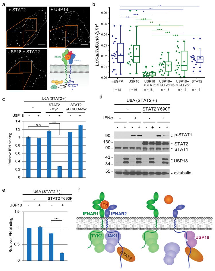 STAT2-USP18 interaction regulates ternary complex assembly of the Type I IFN receptor (a) Binding of DY647 IFNα2 M148A bound to the IFNAR at the surface of U6A cells expressing STAT2-TagRFP-T (top-left), USP18-mEGFP (top-right) or both (bottom-left). The images are superimpositions of single molecule localizations from 100 consecutive frames. Scale bars: 10 μm. Representative images of 13–18 cells analyzed for each condition. (b) Comparison of the density of DY647 IFNα2 M148A bound to cell surface IFNAR of U6A cells expressing STAT2, USP18 or both proteins. Furthermore, protein with only STAT2 CC domain or with only CC and DB domains of STAT2 were also used in the assay. As a control, localizations of DY647 IFNα2 M148A on the surface of U6A cells transfected with mEGFP were quantified. Data were acquired in two independent experiments, n indicates number of cells analyzed for each condition. Significance was quantified using the two-sample Kolmogorov-Smirnov test. *** P