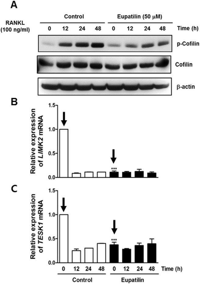 Dephosphorylation of cofilin and rapid downregulation of TESK1 and LIMK2 in response to eupatilin. (A) Cell lysates were prepared in the presence or absence of eupatilin. Western blot analysis was performed with a phosphor-specific cofilin, total cofilin, or β-actin antibody. (B–C) Mouse BMMs were pre-treated with eupatilin (50 μM) or control for 1 h and differentiation was driven by addition of RANKL (100 ng/mL) for the indicated time points. mRNAs were then extracted and expression of TESK1 and LIMK2 mRNA levels were analyzed with real-time RT-PCR. The mRNA levels at time zero, namely 1 h after eupatilin or control pre-treatment, were indicated with arrows for comparison.