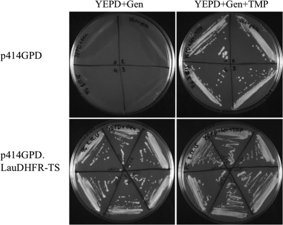 Complementation of S. cerevisiae YH1-DHFR::KanMX4 with the p414GPD.LauDHFR-TS plasmid. Transformant isolates were grown on rich YEPD medium supplemented with Geneticin in the presence or absence of dTMP. The plates were incubated at 30°C for 5 days. Only clones containing the p414GPD.LauDHFR-TS plasmid grew in the absence of TMP.