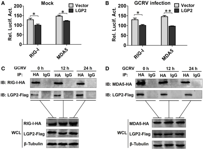 Laboratory of genetics and physiology 2 (LGP2) interacts with melanoma differentiation-associated gene 5 (MDA5) and retinoic acid-inducible gene I (RIG-I) independent of grass carp reovirus (GCRV) infection . (A,B) LGP2 overexpression inhibits RIG-I and MDA5 promoter activities. Fathead minnow (FHM) cells were transiently transfected with 300 ng of LGP2-Flag overexpression plasmid or empty vector, 30 ng of pRL-TK, and 300 ng of report vector (RIG-Ipro-luc or MDA5pro-luc) for 16 h, and then the cells were infected with GCRV or uninfected. Dual-luciferase report assays were conducted at 24 h after GCRV infection. Error bars indicate SD ( n = 4). Asterisks indicate significant differences from control (*0.01