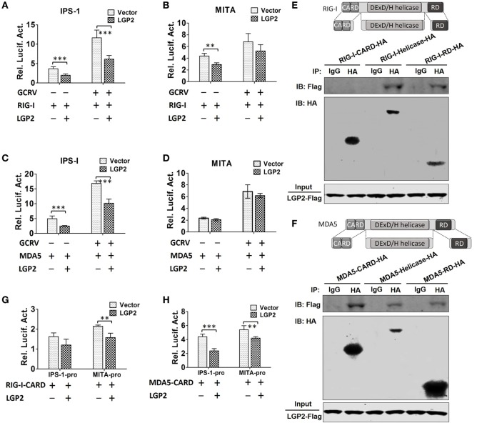 Laboratory of genetics and physiology 2 (LGP2) inhibits downstream signaling of retinoic acid-inducible gene I (RIG-I) and melanoma differentiation-associated gene 5 (MDA5) . (A,B) LGP2 inhibits RIG-I-mediated IFN-β promoter stimulator 1 (IPS-1) and mediator of IRF3 activation (MITA) promoter activities. Fathead minnow (FHM) cells were transiently transfected with 200 ng of LGP2-Flag or empty vector, 200 ng of RIG-I expression plasmid, 30 ng of pRL-TK plus 200 ng of IPS-1pro-luc or MITApro-luc for 16 h and then infected with grass carp reovirus (GCRV). Luciferase activities were conducted at 24 h after GCRV infection. (C,D) LGP2 inhibits MDA5-mediated IPS-1, but not MITA promoter activity. FHM cells were transiently transfected with 200 ng of LGP2-Flag or empty vector, 200 ng of MDA5 expression plasmids, 30 ng of pRL-TK plus 200 ng of IPS-1pro-luc or MITApro-luc in 24-well plates. At 16 h post-transfection, the cells were infected with GCRV for 24 h and then subjected to luciferase activities analysis. (E) Upper: schematic representations of full-length RIG-I and the three domains constructed in the present study. Below: LGP2 interacts with RIG-I-Helicase, RIG-I-RD, but not RIG-I-CARDs domain. FHM cells were cotransfected with 4 µg LGP2-Flag and 4 µg RIG-I-CARD-HA or RIG-I-Helicase-HA or RIG-I-RD-HA for 24 h in 10 cm 2 dishes. Co-IP was performed using anti-HA antibody (Ab), and mouse IgG was used as control. IPs were analyzed by IBs with anti-HA and anti-Flag, respectively. Expression of LGP2-Flag (input) was examined with anti-Flag. (F) Upper: full-length MDA5 and its domain structures. Below: LGP2 interacts with MDA5-CARDs, MDA5-Helicase, and MDA5-RD. FHM cells were transfected with the indicated plasmids (4 µg each). Twenty-four hours later, cells were lysed, Co-IP and IB analyses were performed with the indicated Abs. (G) LGP2 inhibits RIG-I-CARDs-mediated MITA, but not IPS-1 promoter activity. FHM cells were transfected with 200 ng of LGP2-Flag or empty vector, 200 ng of RIG-I-CARD-HA expression plasmid, 30 ng of pRL-TK plus 200 ng of IPS-1pro-luc or MITApro-luc. Luciferase assays were performed at 24 h post-transfection. (H) LGP2 inhibits MDA5-CARDs-mediated IPS-1 and MITA promoter activities. FHM cells were transfected with 200 ng of LGP2-Flag or empty vector, 200 ng of MDA5-CARD-HA expression plasmid, 30 ng of pRL-TK plus 200 ng of IPS-1pro-luc or MITApro-luc. Luciferase assays were performed at 24 h post-transfection. Error bars indicate SD ( n = 4). Asterisks indicate significant differences from control (**0.001