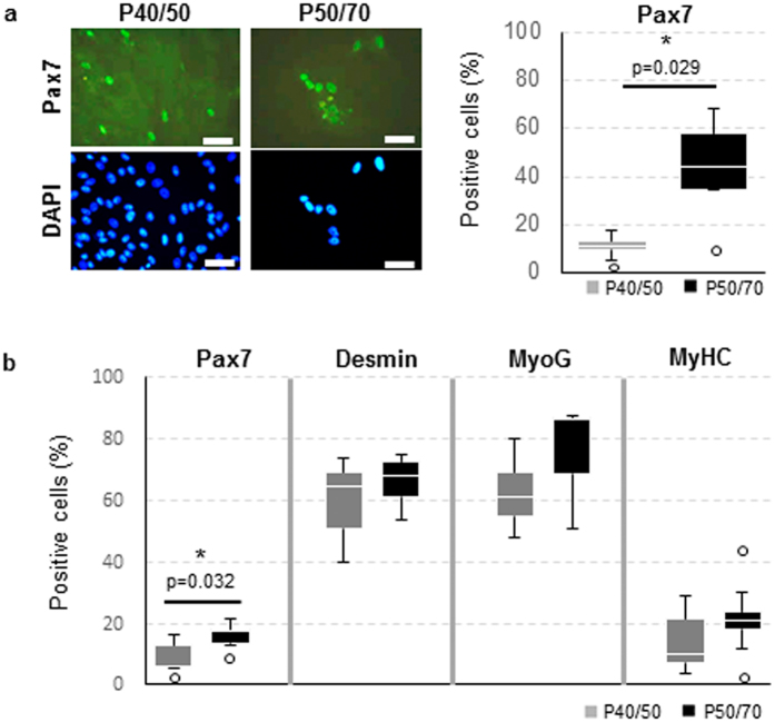 P40/50 and P50/70 differ in myogenic marker expression after prolonged cultivation. ( a ) P40/50 and P50/70 cells were passaged at day 4 and cultured in growth medium for another 5 days. Subsequently, immunofluorescence staining was performed to visualize Pax7; cell nuclei were stained with DAPI. Pax7 was localized in the nuclei, and a higher proportion of nuclei was positive for the transcription factor in P50/70 cells, in contrast to P40/50 cells. Percentages of positive cells of each sample (n = 5) are presented as Box-Whisker plots with the maximum 1.5 of the interquartile range (Q 1 –Q 3 ), and the resulting outliers are included as circles. For statistical analysis, Mann-Whitney Rank Sum Test was performed, *p ≤ 0.05. ( b ) Flow cytometric analysis of proliferating SC from SM or LD muscle after 8 days of cultivation. P40/50 cells show a significantly higher proportion of cells positive for Pax7. Percentages of positive cells of each sample are presented as Box-Whisker plots with the maximum 1.5 of the interquartile range (Q 1 –Q 3 ), and the resulting outliers are included as circles. For statistical analysis, Students t-test (Desmin, MyoG, MyHC) or Mann-Whitney Rank Sum Test (Pax7) was performed, *p ≤ 0.05, n = 4 (MyoG, MyHC), 5 (Pax7) and 9 (Desmin).