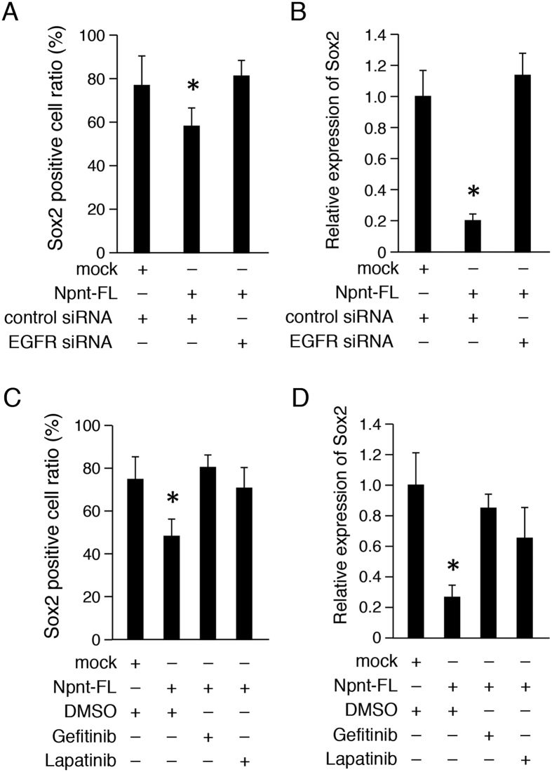 Npnt regulates Sox2 expression via <t>EGF</t> signaling pathway. ( A ) Ratio of Sox2+ cells among M3H1 cells transfected with Npnt-FL, with or without EGFR siRNA. The ratio was calculated as Sox2+ cells/DAPI-stained nuclei. ( B ) qRT-PCR analysis of Sox2 expression in M3H1 cells transfected with Npnt-FL, with or without EGFR siRNA. Gapdh was used as the internal control. ( C ) Ratio of Sox2 cells among M3H1 cells transfected with Npnt-FL, or treated with EGFR inhibitor <t>gefitinib</t> or lapatinib. The ratio was calculated as Sox2+ cells/DAPI-stained nuclei. ( D ) qRT-PCR analysis of Sox2 expression in M3H1 cells transfected with Npnt-FL, or treated with EGFR inhibitor gefitinib or lapatinib. Gapdh was used as the internal control. *P