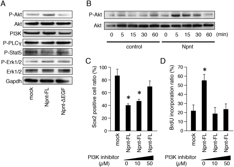 EGF-like repeats of Npnt regulate EGF signaling pathway by regulating phosphorylation of Akt. ( A ) Western blotting of P-Akt, Akt, <t>PI3K,</t> P-PLCγ, P-Stat5, P-Erk1/2, Erk1/2, and Gapdh in M3H1 cells transfected with Npnt-FL or Npnt-ΔEGF, and cultured for 48 hours. Gapdh was used as the internal control. The full-length blots are presented in Supplementary Figure 1B . ( B ) Western blotting of P-Akt and Akt in M3H1 cells with or without recombinant Npnt treatment for 60 minutes. Gapdh was used as the internal control. The full-length blots are presented in Supplementary Figure 1C . ( C ) Ratio of Sox2+ cells among M3H1 cells transfected with Npnt-FL and treated with different doses of PI3K inhibitor (LY294002). The ratio was calculated as Sox2 positive cells/DAPI-stained nuclei. ( D ) BrdU incorporation in M3H1 cells treated with different doses of LY294002. The ratio was calculated as BrdU-positive cells/DAPI-stained nuclei. *P