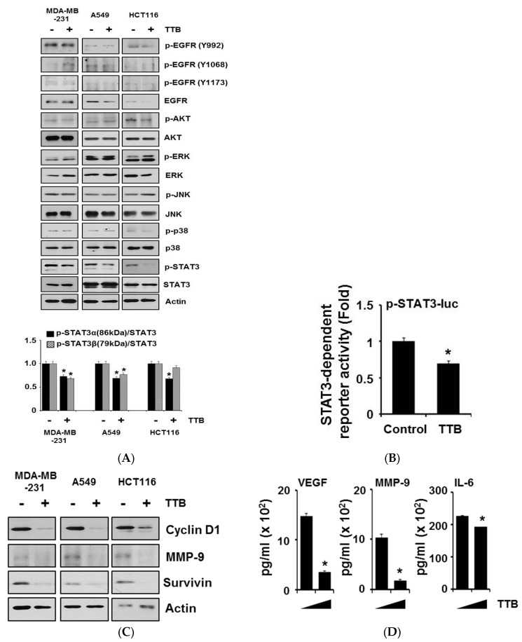 TTB selectively suppresses STAT3 signaling pathway: ( A ) MDA-MB-231, A549 and HCT116 cells were treated with TTB (100 μM) for 15 min and whole lysates were analyzed by western blot with anti-p-EGFR (Y992), -p-EGFR (Y1068), -p-EGFR (Y1173), -EGFR, -p-AKT, -AKT, -p-ERK, -ERK, -p-JNK, -JNK, -p-p38, -p38, -p-STAT3 and -STAT3. Actin was used for internal control. Quantitative analyses of p-STAT3 expression was performed using the Image J software; ( B ) MDA-MB-231 cells were transfected with the STAT3-dependent luciferase reporter and then treated with TTB (100 μM) for 6 h. Luciferase assay were done by using dual-luciferase reporter assays. All transfections included the RLTK-Luc for transfection efficiency. * p