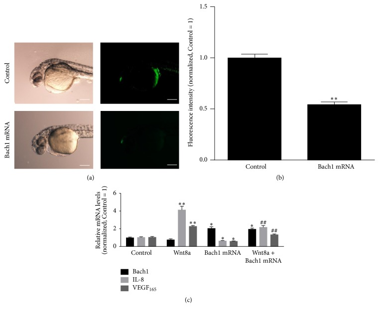 Bach1 suppresses endogenous Wnt/ β -catenin signaling and exogenous Wnt8a stimulated VEGF and IL-8 gene expression in zebrafish. (a) Representative fluorescent images of 36-hpf Tg(TOP:GFP) transgenic zebrafish embryos that had been injected with or without Bach1 mRNA. (b) The fluorescence intensity of GFP was quantified and expressed as the as the ratio of measurements Bach1 mRNA and Control group ( n = 12; ∗∗ P