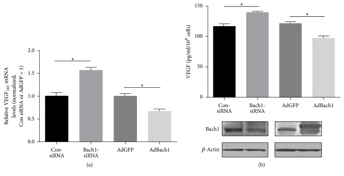 Bach1 inhibits VEGF mRNA and protein expression in HUVECs. (a and b) mRNA or protein levels of VEGF 165 were compared in ConsiRNA- and Bach1siRNA-transfected HUVECs and in AdGFP and AdBach1-HUVECs. mRNA levels (a) were evaluated via quantitative PCR ( n = 4; ∗ P